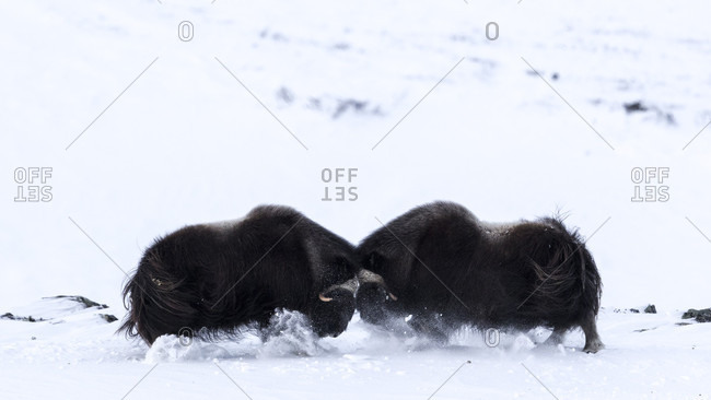 Two Musk Oxen Fighting In Dovrefjell National Park In Norway