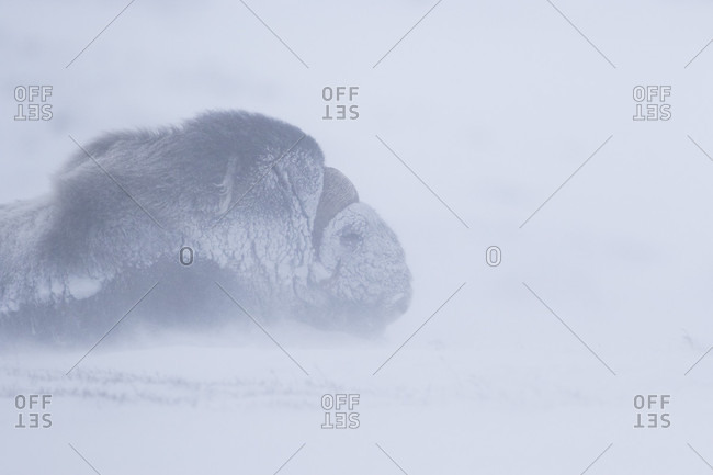 Musk Ox Lying On Floor Covered With Snow During Snowstorm In Dovrefjell National Park