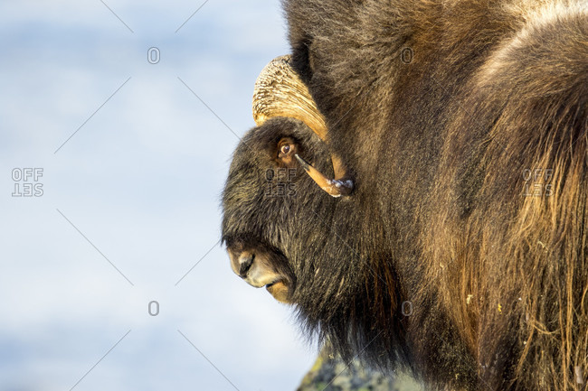 Close Up Of A Musk Ox Head In Dovrefjell National Park