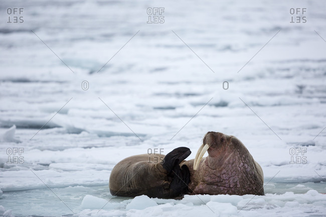 Two Walruses Resting On The Pack Ice On A Winter Day In Svalbard