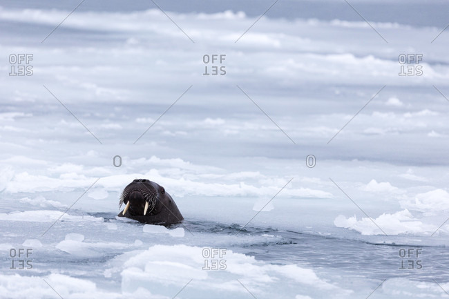 Lonely Walrus Showing Its Head Outside Of The Arctic Sea