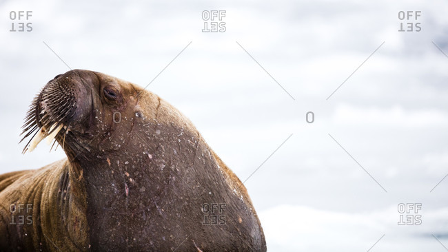 Lonely Walrus During Sunset In Spitzbergen, Svalbard