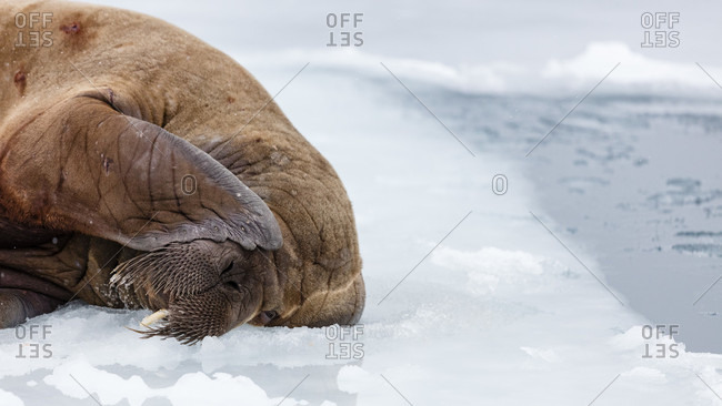 Walrus Lying On Pack Ice Hiding One Of Its Eyes With Its Flipper