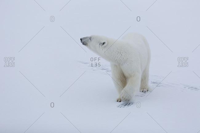 Polar Bear Walking On An Immaculate Snow Looking Away In Spitzbergen, Svalbard