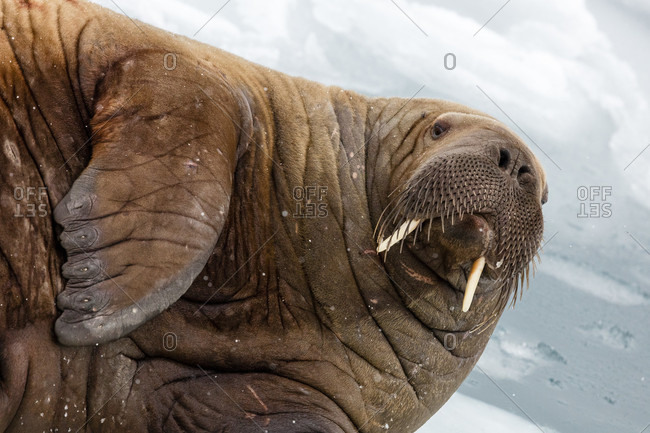 Close-up Of Walrus Lying In Snow In Spitsbergen, Svalbard