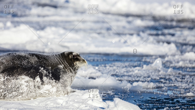 Big Bearded Seal Lying On A Piece Of Pack Ice With Snow Covering Its Body