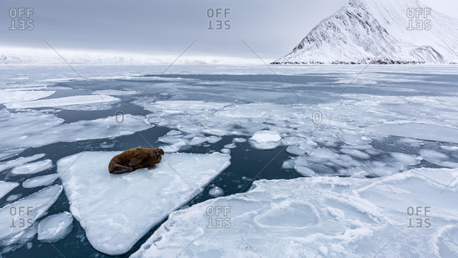 Walrus On A Piece Of Pack Ice Deriving On The Arctic Sea In Spitsbergen, Svalbard