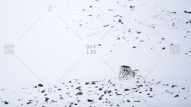Long Exposure Of Lonely Svalbard Reindeer In Spitsbergen, Svalbard