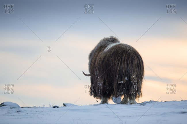 Musk Ox Walking In A Winter Landscape During Sunset In Dovrefjell, Norway