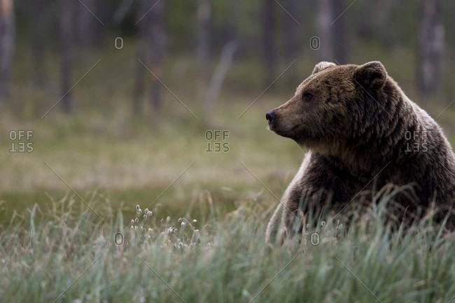 Brown Bear Sitting In A Grass Field In Finland