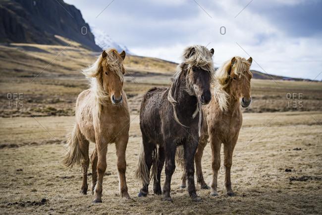 Three Icelandic Horses Standing In Iceland