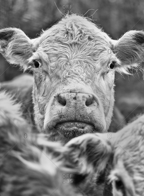 Close-up Of Cow Looking At The Camera