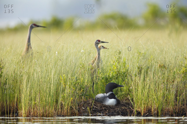 Three Sandhill Cranes On Grass Field Near A Loon Resting In Nest
