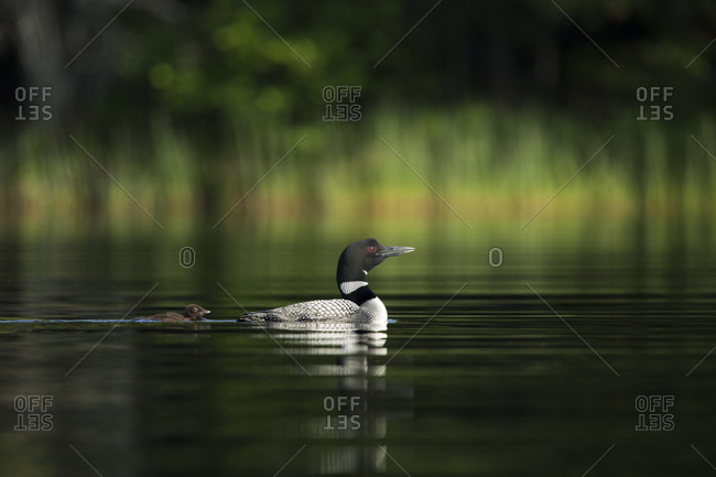 Common Loon With Its Chick Swimming In Davis Pond