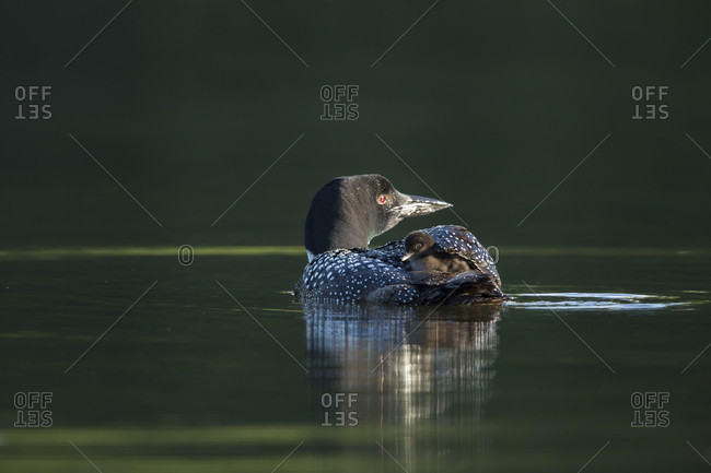Common Loon Carrying Chick On Back In Long Pond