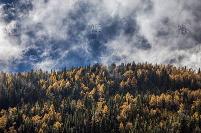 View Of Clouds Over Golden Larches