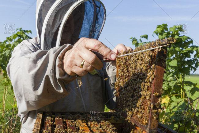 Beekeeper lifts frame covered with honeybees from hive