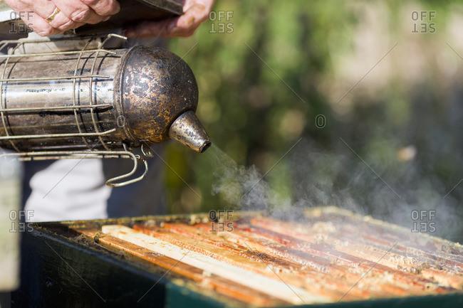 Beekeeper using smoker to calm honeybees