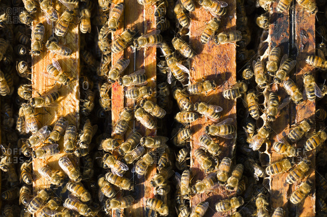 Honeybees swarming around frames in beehives
