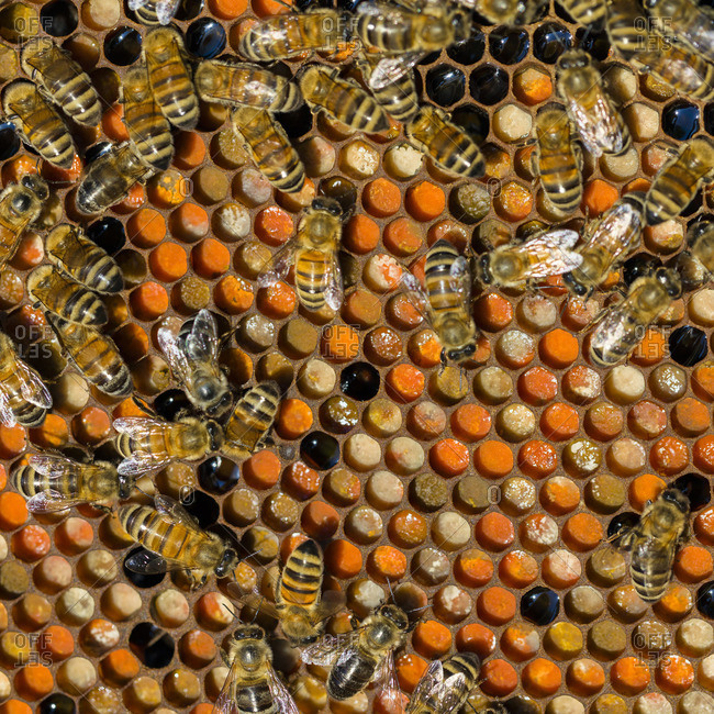Bees on background of honeycomb