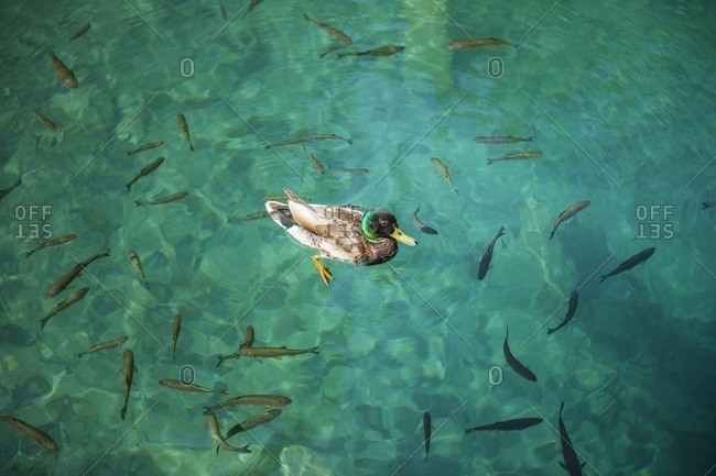 Duck surrounded by fish