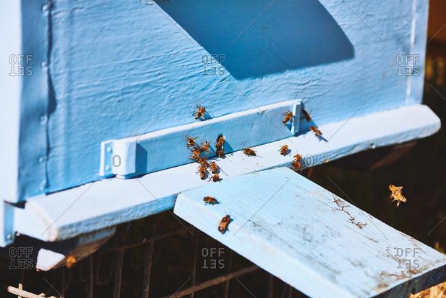 Honey bees creeping out hives box