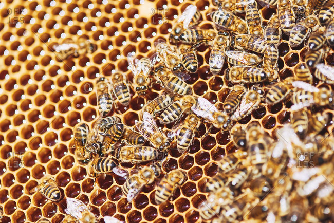Close-up of swarm on honeycomb full of fresh honey