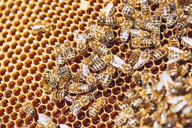 Close-up of swarm on honeycomb full of fresh honey