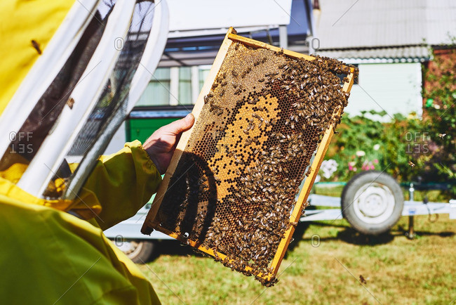 Apiarist holding honeycomb with bees