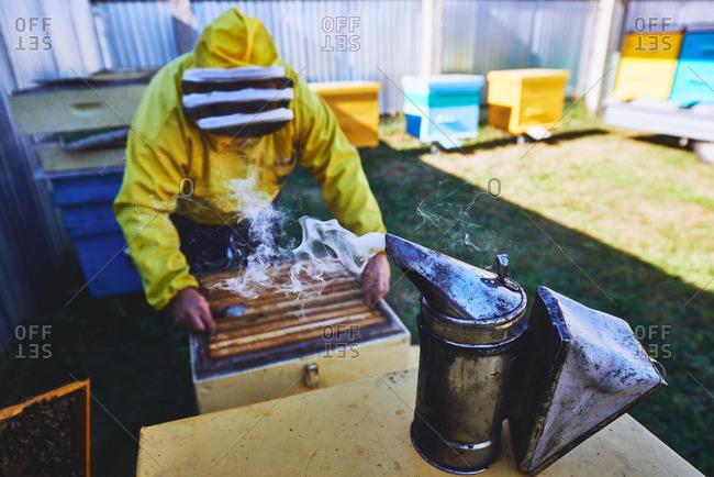 Bee smoker against beekeeper removing honeycomb