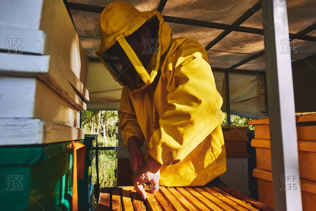 Young apiarist pulling out honeycomb at bee yard