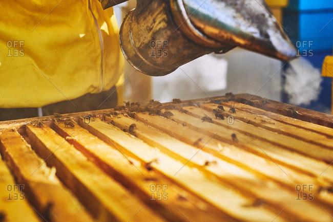 Beekeeper using smoker to calm bees
