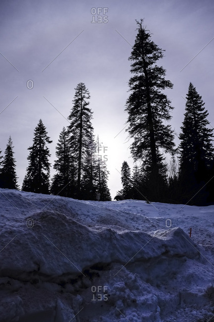 Sequoia's along a snowy hillside