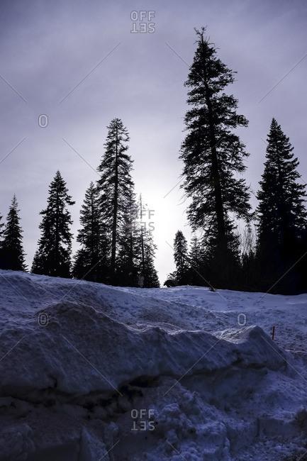 Sequoia's along a snowy hillside
