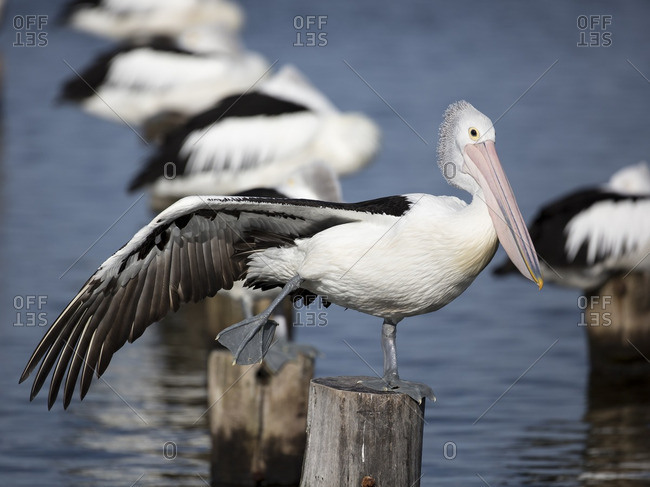 Pelican perched on an old jetty post stretching wing