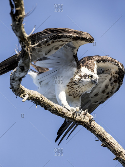 Osprey about to take flight from a dead tree branch