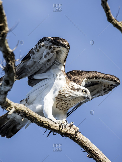 Osprey about to take flight from a tree branch