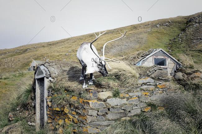 Reindeer standing on top of an Icelandic turf house