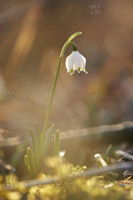 Close-up of Spring Snowflake (Leucojum vernum) Blooming in Spring, Upper Palatinate, Bavaria, Germany