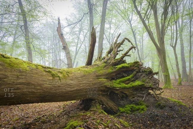 Fallen Tree in Beech Forest in Spring, Hesse, Germany