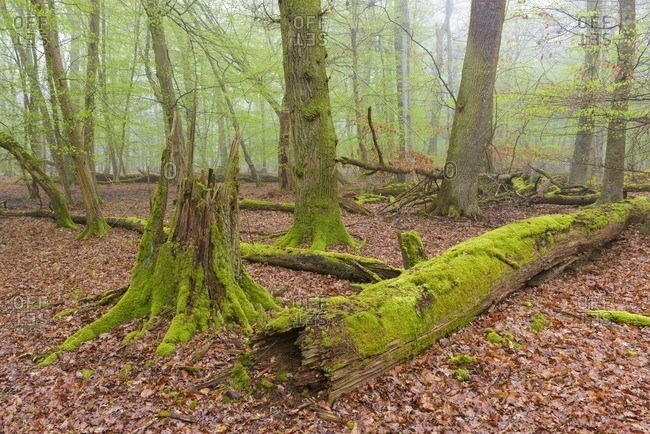 Dead Wood Covered in Moss in Beech Forest in Spring, Hesse, Germany