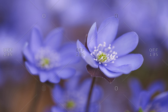 Close-up of Common Hepatica (Anemone hepatica) Blossoms in Forest in Spring, Bavaria, Germany