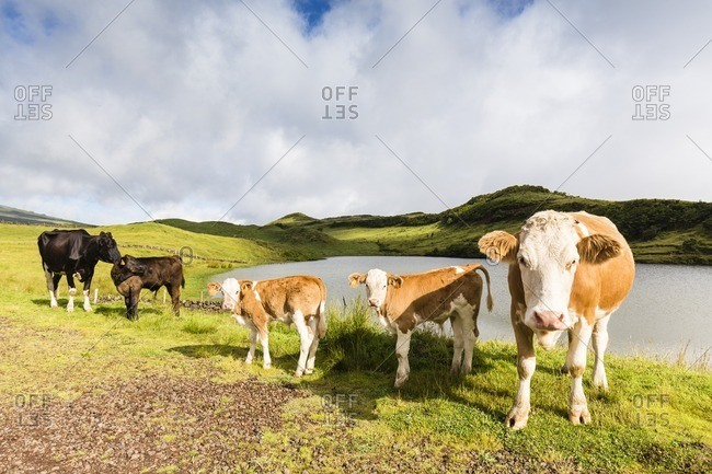 Herd of Cows by Lake do Capitao near Mount Pico, Sao Roque do Pico, Pico Island, Azores, Portugal