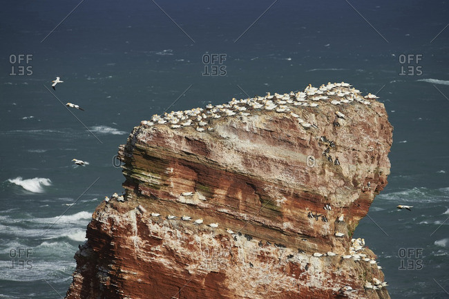 Sea stack in the North Sea along the coast of Helgoland with nesting seabirds, northern gannets and common murres, North Germany
