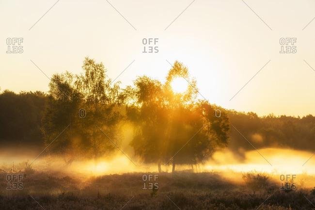 Sun is shining through birch trees at sunrise, the Wahn heath (Wahner Heide), North Rhine-Westphalia, Germany
