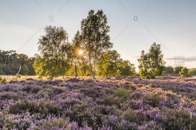 Sun brightly shining through birch trees at sunrise with blooming common heather, Wahn Heath in North Rhine-Westphalia, Germany