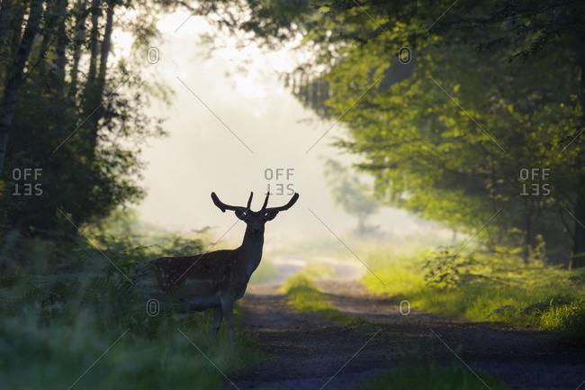 Silhouette of Male Fallow Deer (Cervus dama) in Misty Forest, Hesse, Germany