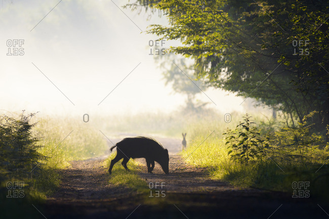 Silhouette of wild boar on a dirt road on a misty morning with European Brown Hare looking on in the background, Hesse, Germany