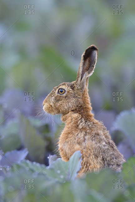 European Brown Hare (Lepus Europeans) in Red Cabbage Field in Summer, Hesse, Germany