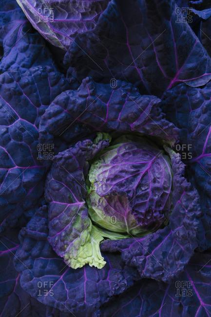 San Michelle Cabbage